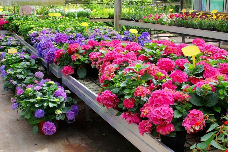 Hydrangeas have different colors, depending on the pH of the soil.