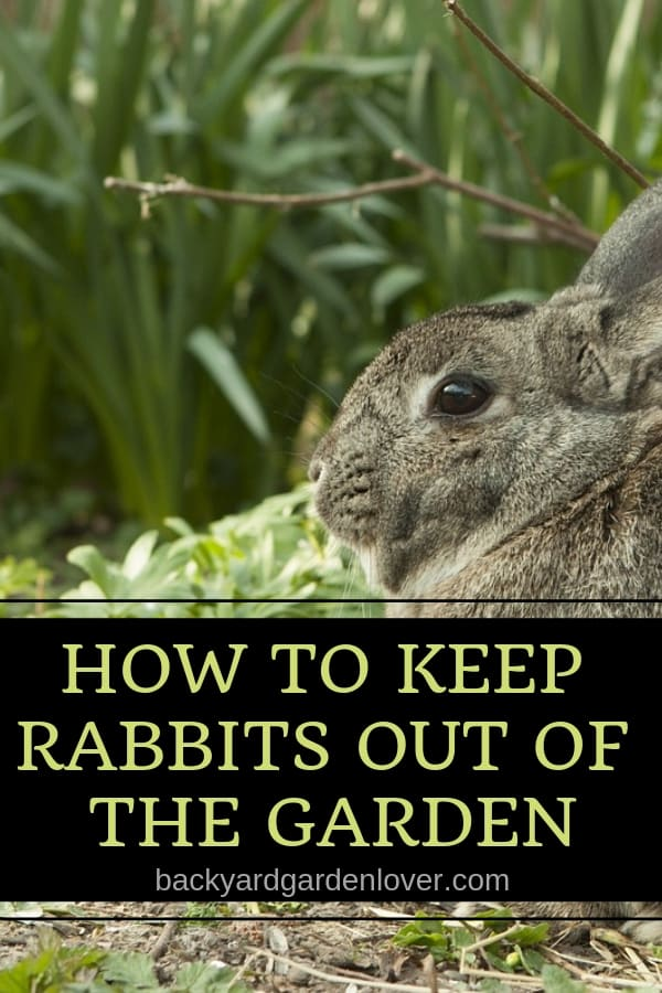 Rabbits can wreak havoc in the garden. Keep rabbits out of your flower beds and vegetable plot with the ideas in this quick guide. #rabbits #gardenpests #gardening #gardener #keeprabbitsoutofmygarden #pestfreegarden #gardeningtips