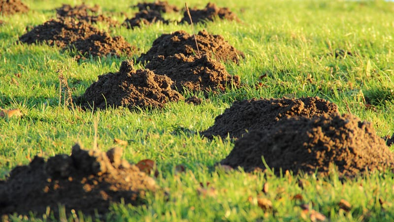 moles damage in the yard