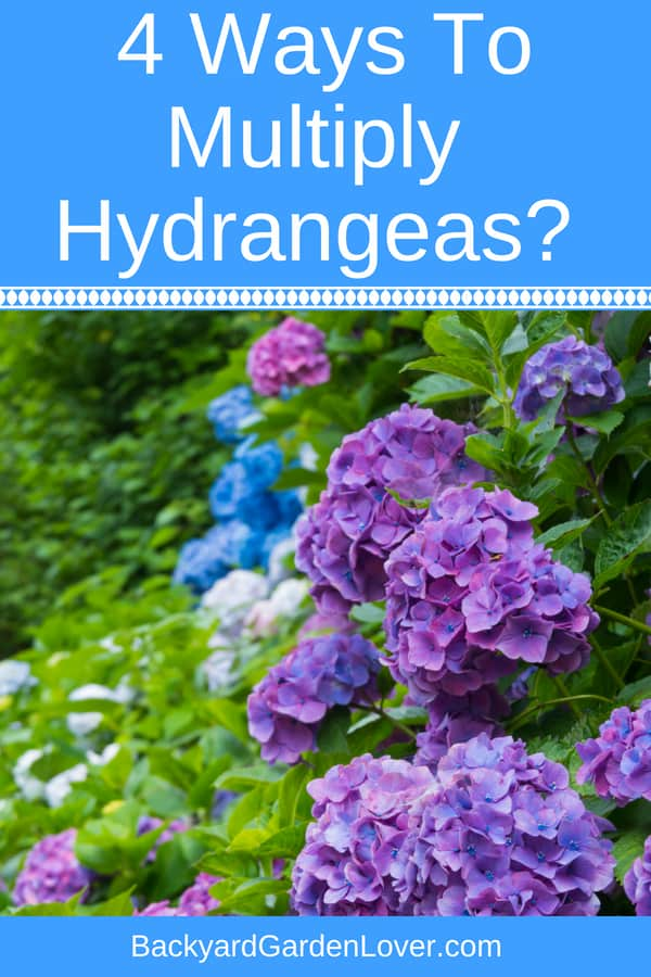Looking for a way to multiply hydrangeas? Here are tips for how to grow more hydrangea plants and how to root them from cuttings in water and in soil. Also learn how to care for your hydrangea shrubs.