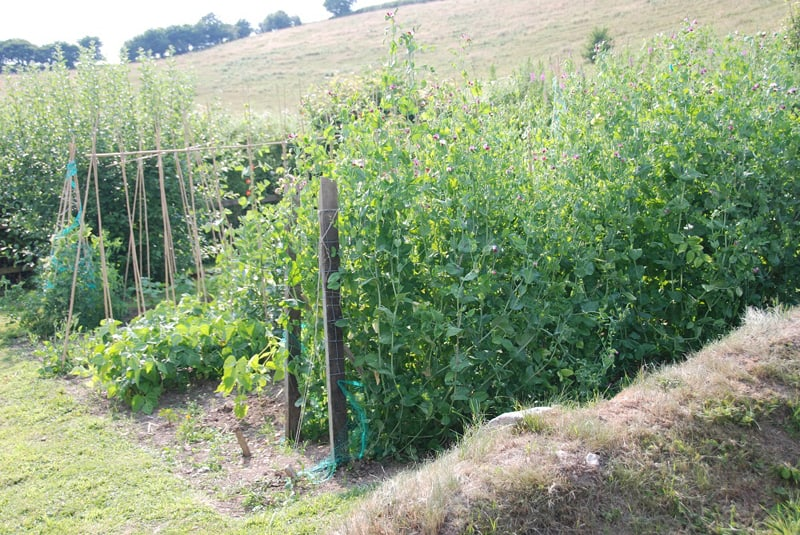 Peas and beans are easy to grow: very rewarding crops.