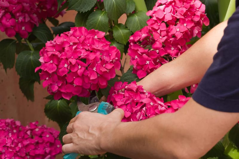 Pruning helps hydrangea bushes to bloom more flowers