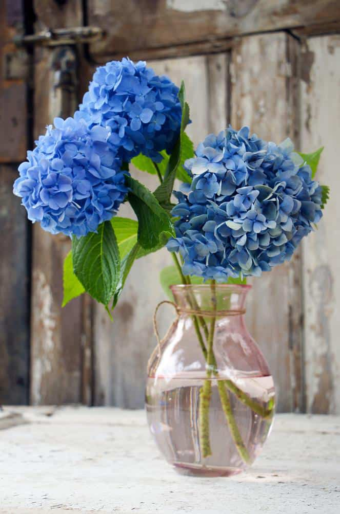 Stems from hydrangeas in flower vases may also grow roots