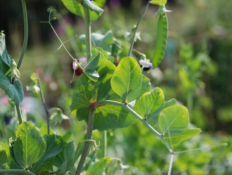 Sugar peas (mangetout), one of the easiest crops to grow. Great for beginners and experienced alike