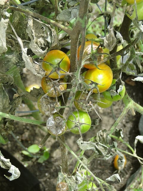 tomato blight disease