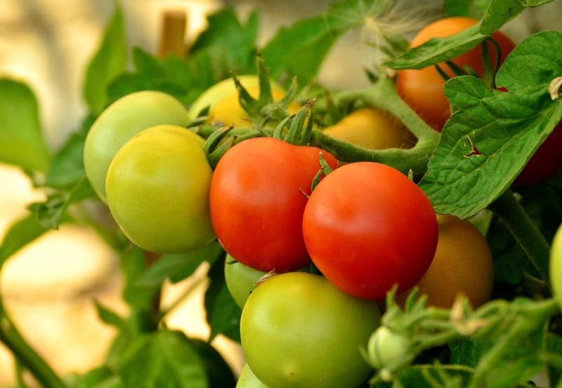 Delicious tomatoes on the vine, ready to harvest.