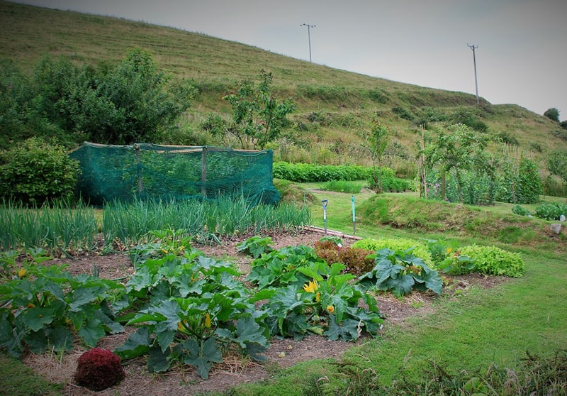 Thriving vegetable garden ready to harvest