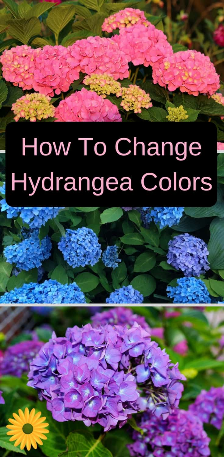 How To Change Hydrangea Colors Pink Blue Purple