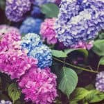 How To Change Hydrangea Colors