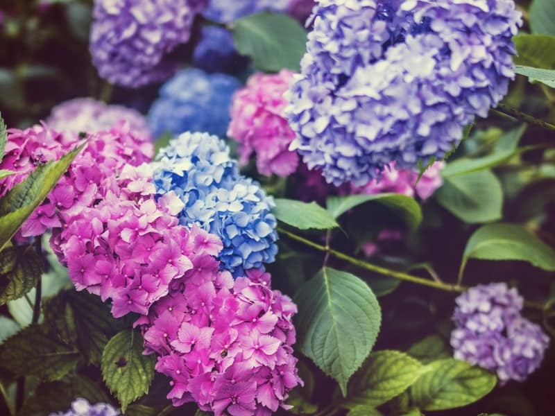 Beautiful multi-colored hydrangeas: learn how to change hydrangea colors