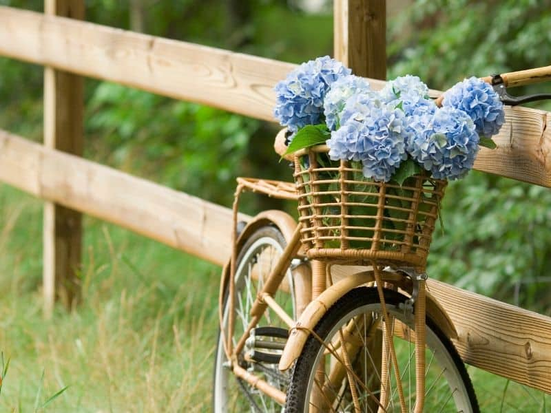 A basket filled with blue hydrangea flowers, stitting on a bike by a fence.