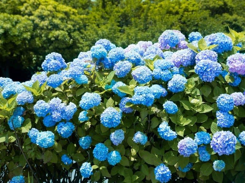 Gorgeous blue hydrangea bush
