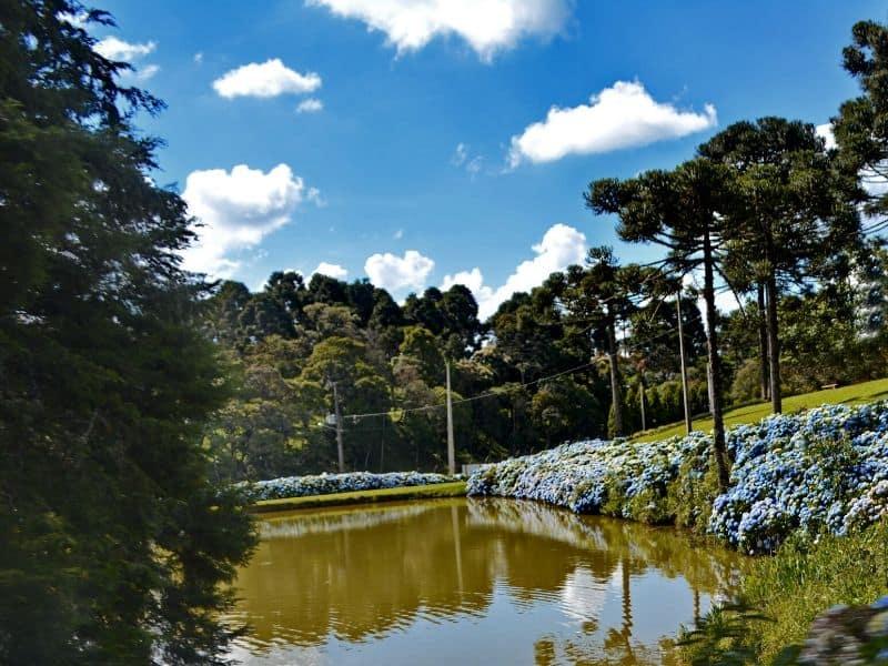 Blue hydrangeas by a lake