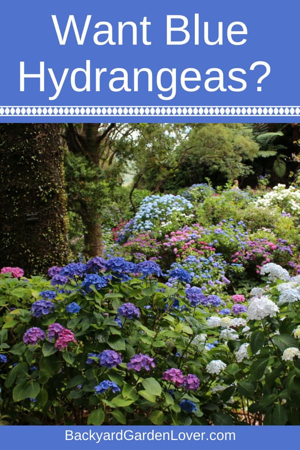 Would you like blue hydrangeas? All it takes is a bit of chemistry, and you can add beautiful blue hydrangeas to your landscape. Then you can enjoy a summer full of blue shades by your front porch, or wherever you planted your hydrangeas. #hydrangeas #bgl #flowergardening #landscaping #landscapes #purplehydrangeas #pinkhydrangeas #bluehydrangeas