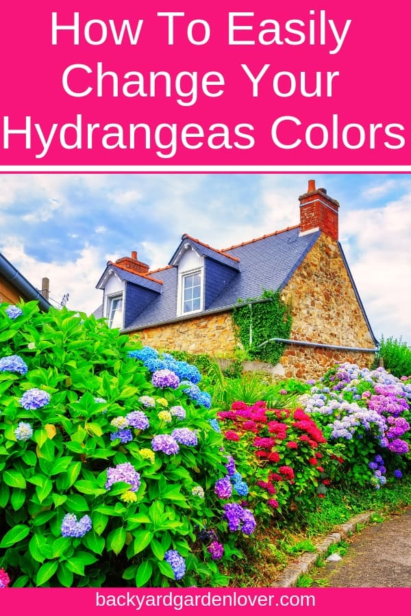 Would you like to easily change the color of your hydrangea flowers to shades of purple, blue or pink? Here's a quick and easy way to transform your garden into a paradise, and enjoy lots of colorful hydrangea blooms. #purplehydrangeas #pinkhydrangeas #bluehydrangeas #bhl #hydrangeas #gardening #landscaping