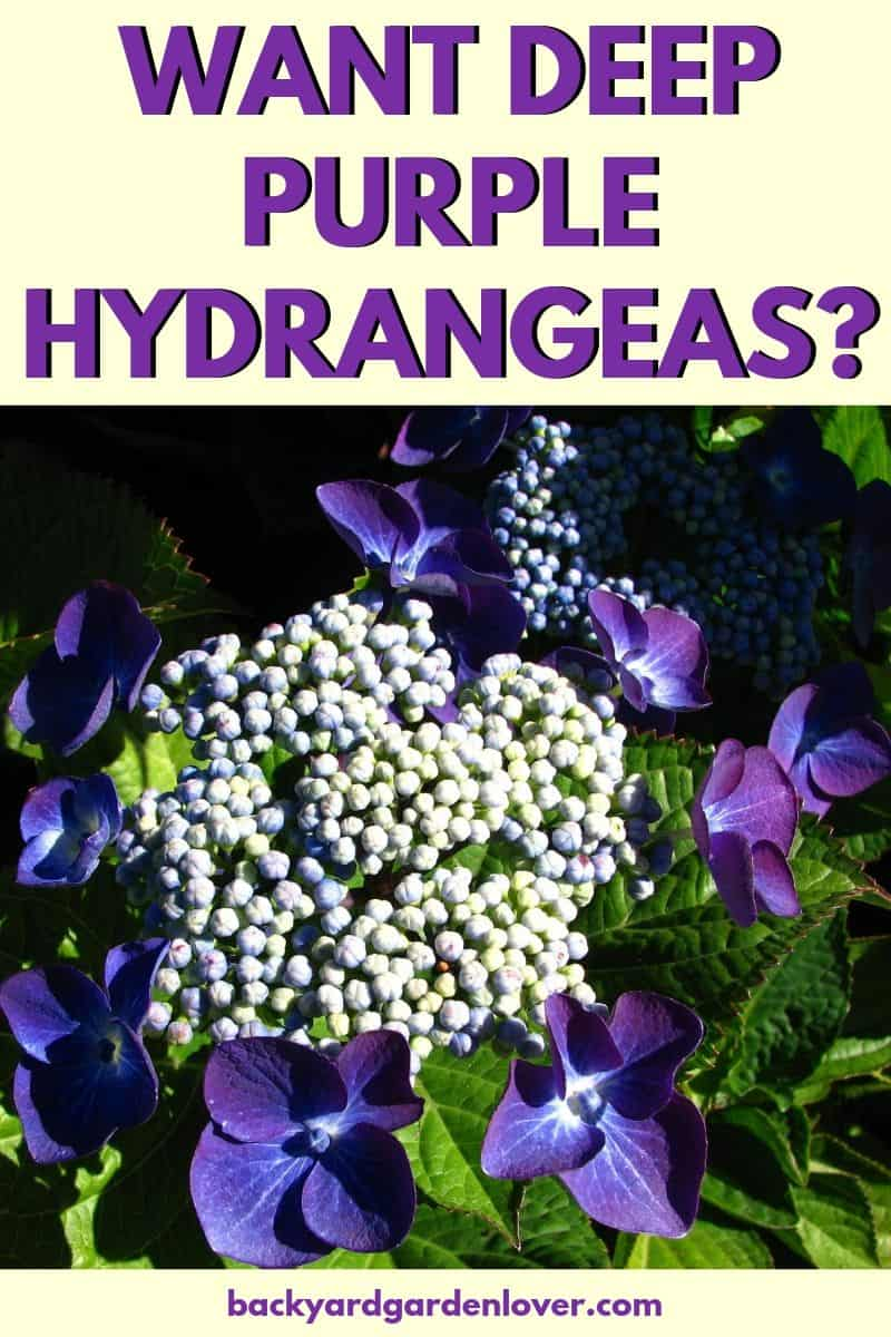 Have you ever been green with envy seeing your neighbor's deep purple hydrangea flowers? Don't worry: here's a quick and easy way to get your own deep purple hydrangeas (or pink, or blue, if one of those is your absolute favorite!) #purplehydrangeas #hydrangeas #hydrangeaflowers #deeppurpleflowers #deeppurplehydrangeas #landscaping #flowergardening