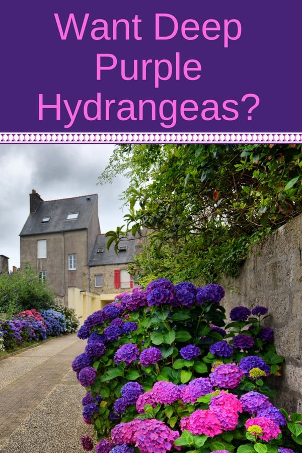Purple hydrangeas in front of stone buildings