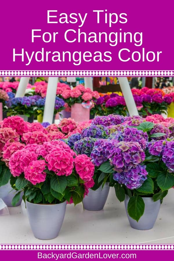 Did you know you can change the color of hydrangeas? Just follow these simple steps and enjoy hydrangea flowers in beautiful shades of pink, blue, purple and combinations of all. Video will show you how it's done if you prefer visual gardening tips. #hydrangeas #gardeningtips #bgl #flowergarden #landscaping #colorfulgarden #prettyflowergarden
