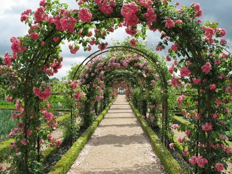 Climbing roses forming a beautiful arch over the pathway