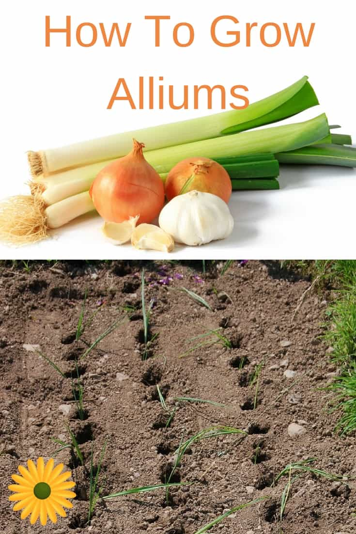 All you need to know about growing Alliums