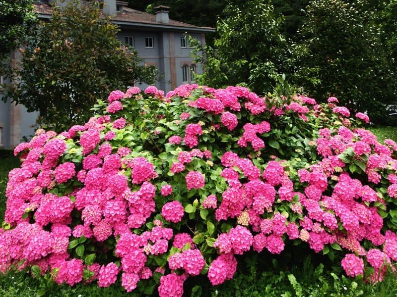 Hot pink hydrangea bush