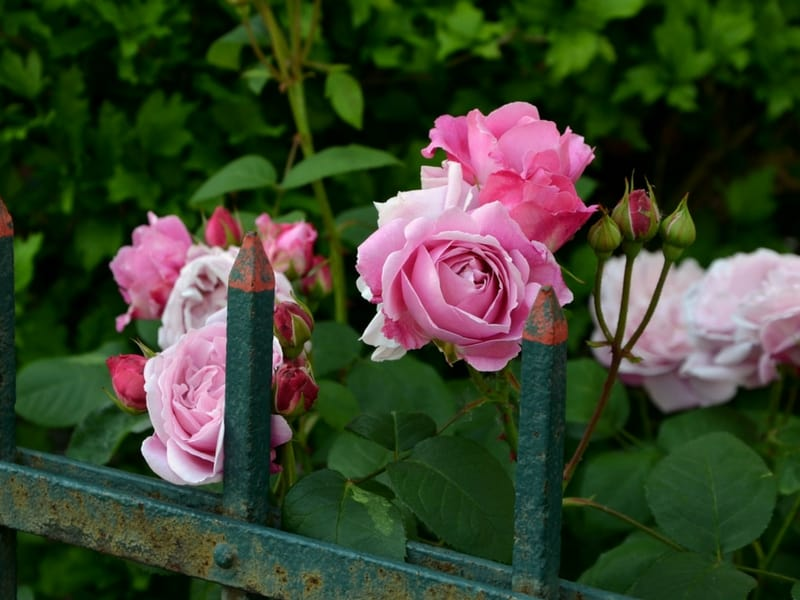 Pink roses peeking out from a white garden fence