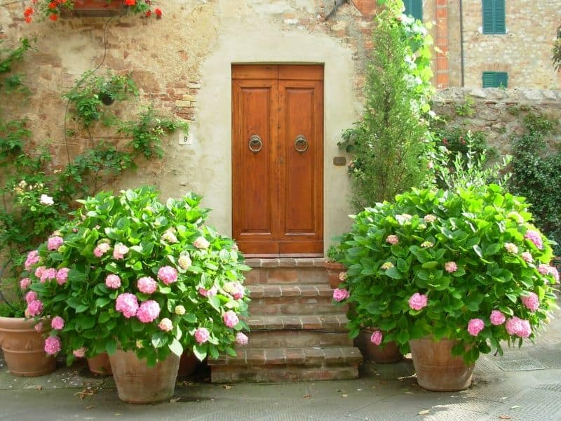 Potted pink hydrangeas by the entrance of the house