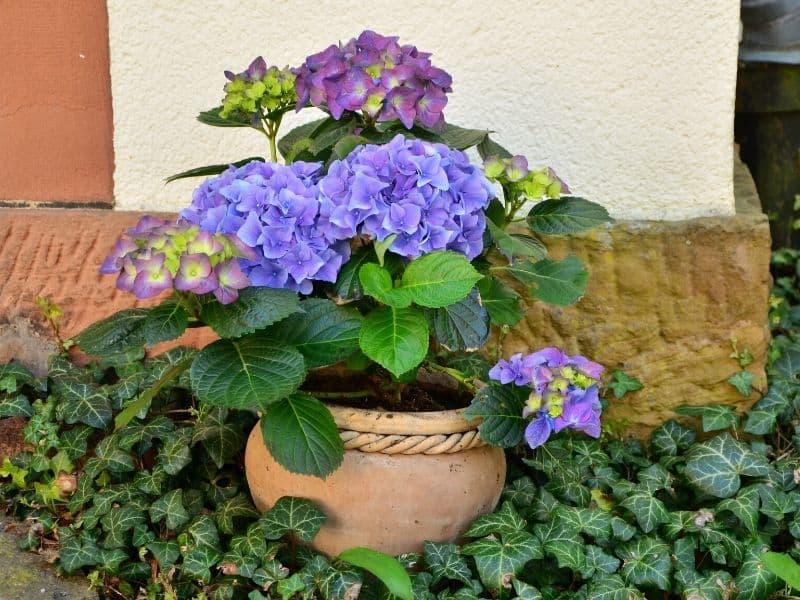 Potted purple hydrangea