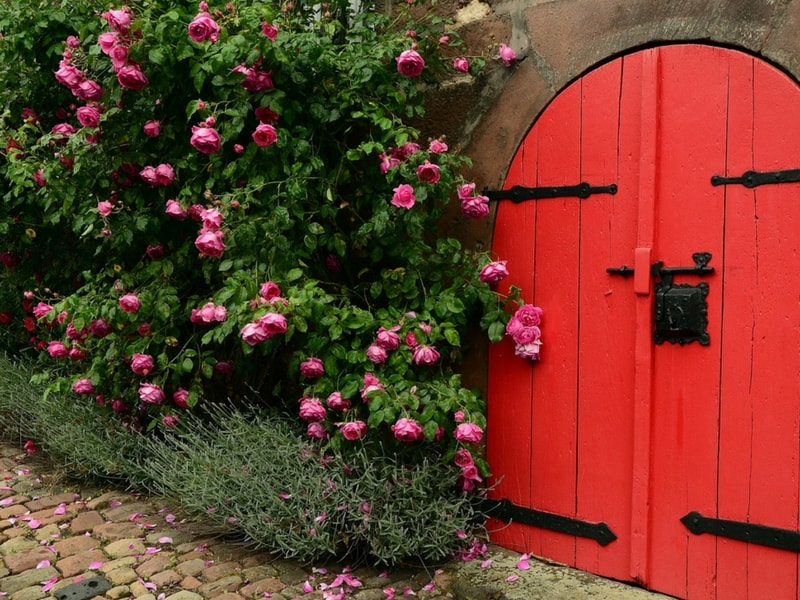 Red roses bush by a beautiful garden door