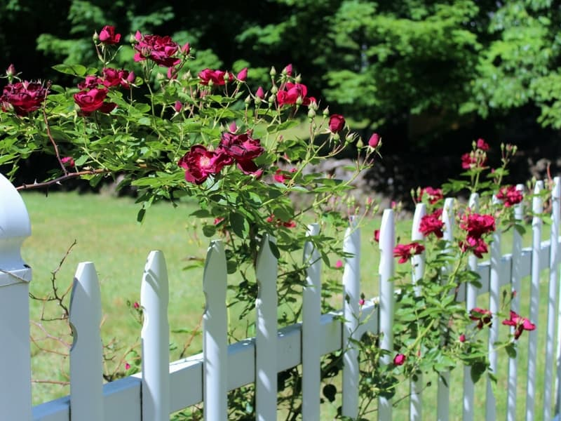 Red roses against a white fence