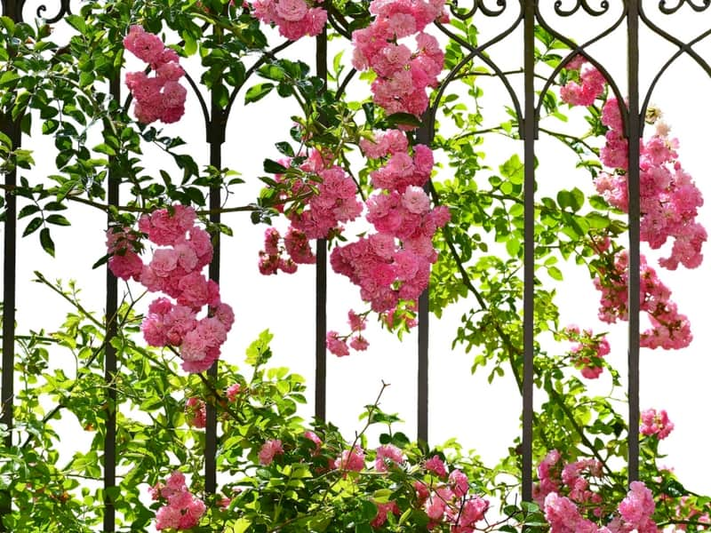 Romantic rose blooms climbing up an iron fence
