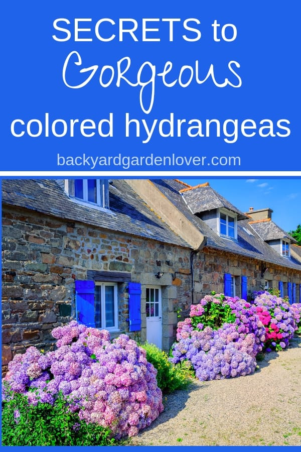 Have you seen hydrangea flowers in colors that made you smile? Colors ranging from pale pink, or powder blue, to deep purples and soft lavender? Here are the secrets to gorgeous hydrangea colors (video included) #hydrangeas #purplehydrangeas #pinkhydrangeas #bluehydrangeas #flowergarden #landscaping #colorfulgarden #prettyflowergarden #gardeningtips #bgl