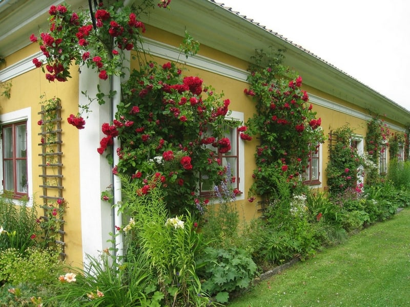Countryside roses in Sweeden