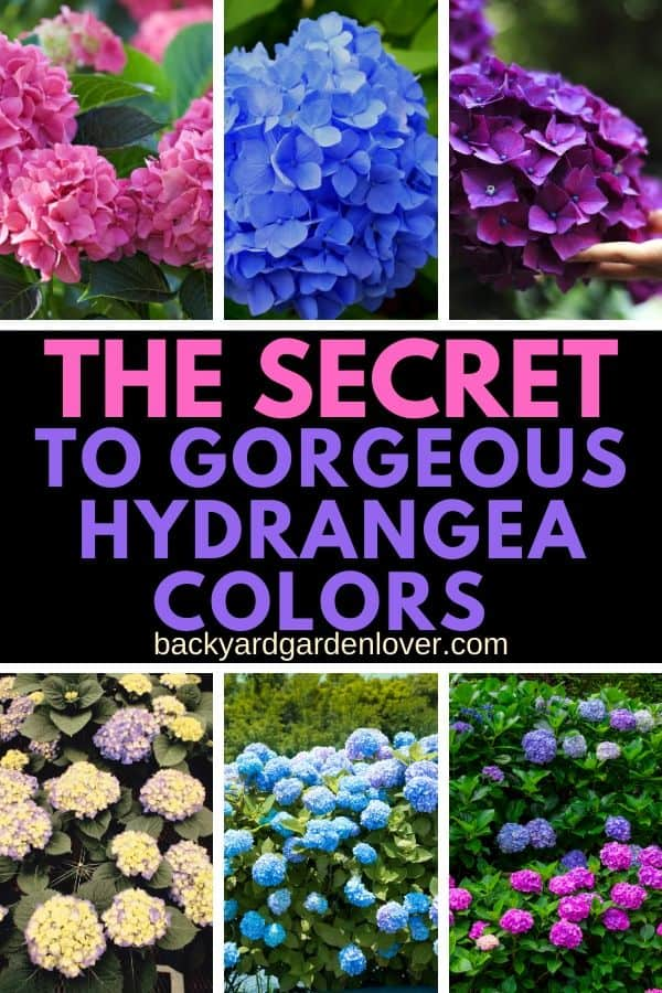 Have you ever seen a beautiful purple hydrangea? Or maybe the perfect deep blue? This easy trick will change your hydrangea flower color into pink, blue or purple. Simple, yet so pretty! #hydrangea #flowers #hydrangeacolors #pinkhydrangeas #purplehydrangeas #bluehydrangeas #gardentips