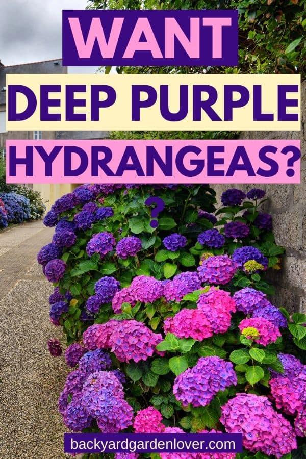 Want deep purple hydrangeas? - Pinterest image