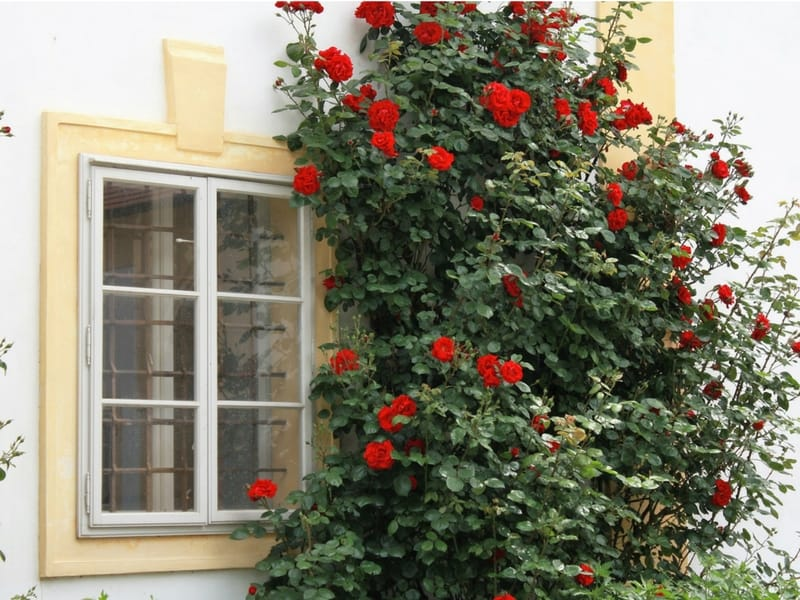 Gorgeous red roses bush against a yellow framed window