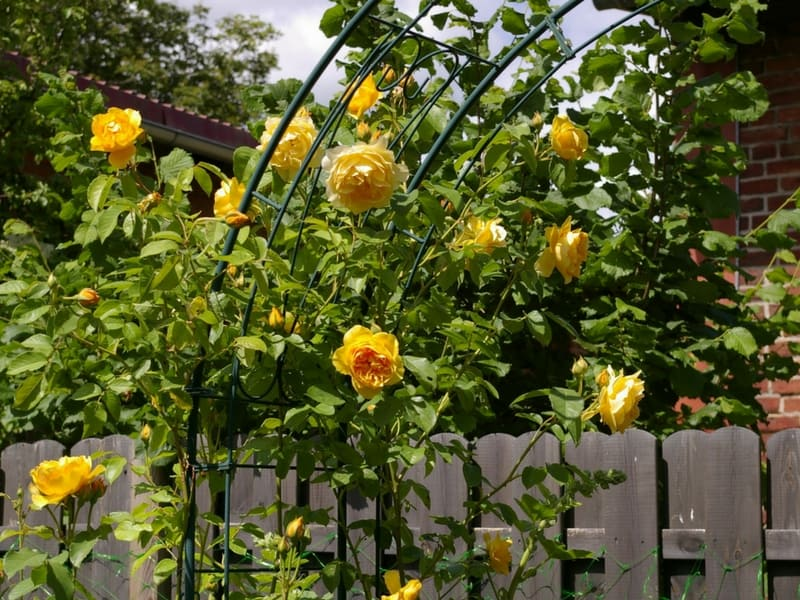Beautiful arch made of yellow roses going over a fence