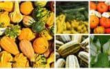 Cucurbit Vegetables
