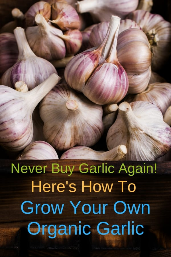 Growing garlic is very easy to do: every clove will give you a full head of garlic. Start out with organic garlic and plant it in a pot indoor, or outdoors in your garden, in a container, or in raised beds. It's best to plant garlic in the fall, but planting in the spring is OK too. Once you learn how to grow garlic, you may never need to buy it again!