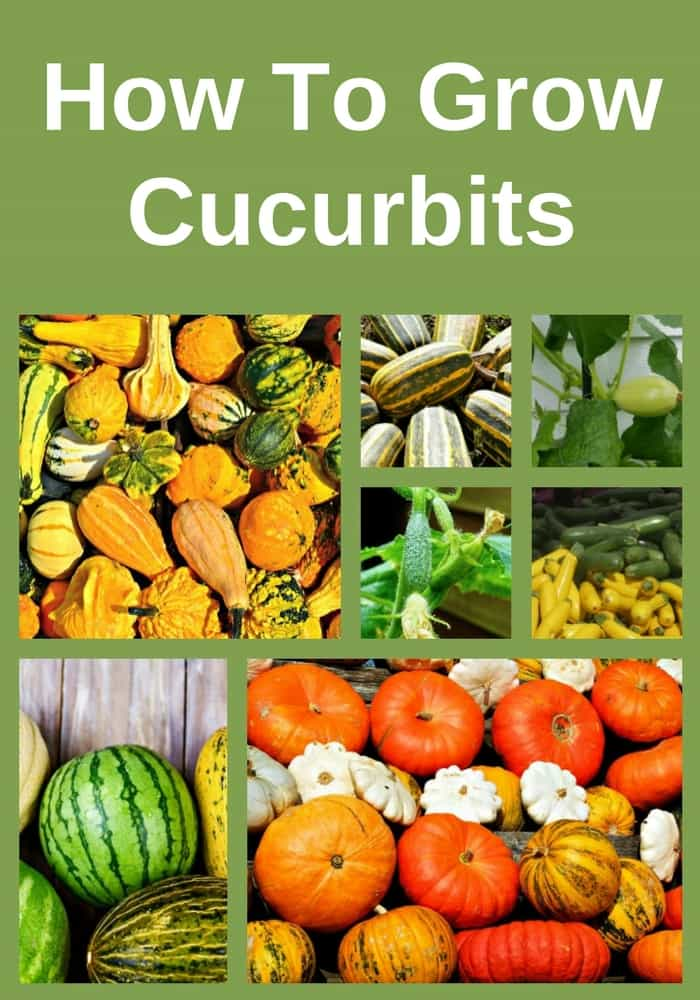 Cucurbit crops are one of the easiest and most rewarding vegetable crops to grow: they have high germination rates, they grow quickly and they reward you with an abundance of fresh garden vegetables. Learn how to grow them.