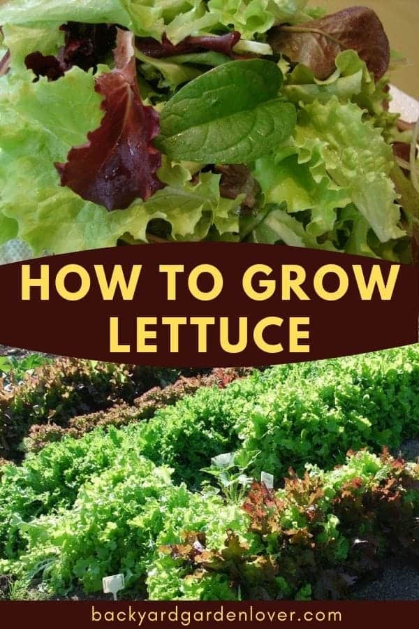 If you want fresh, crisp, delicious leaves for your salads, learn how to grow lettuce from seeds. It can easily grow in containers, raised beds, and even indoors. #lettuce #organicgarden #gardening #vegetablegardening #foodgarden #freshgreens #foodfromthegarden