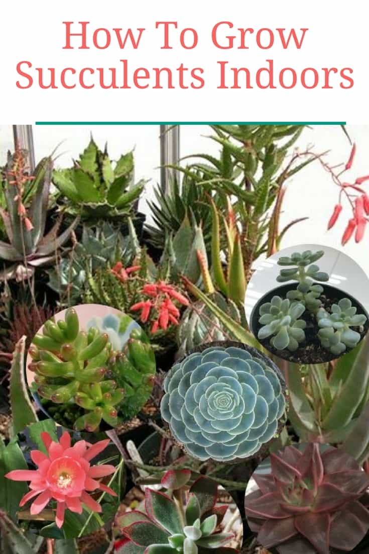 Learn how to grow succulents indoors with this compete indoor succulents guide.