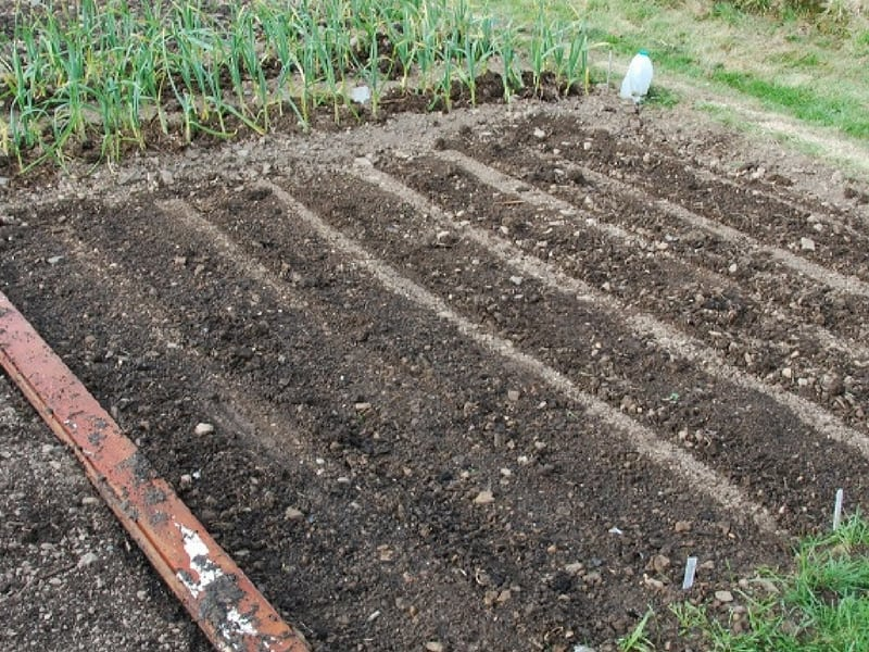 Soil rows prepared to sow lettuce