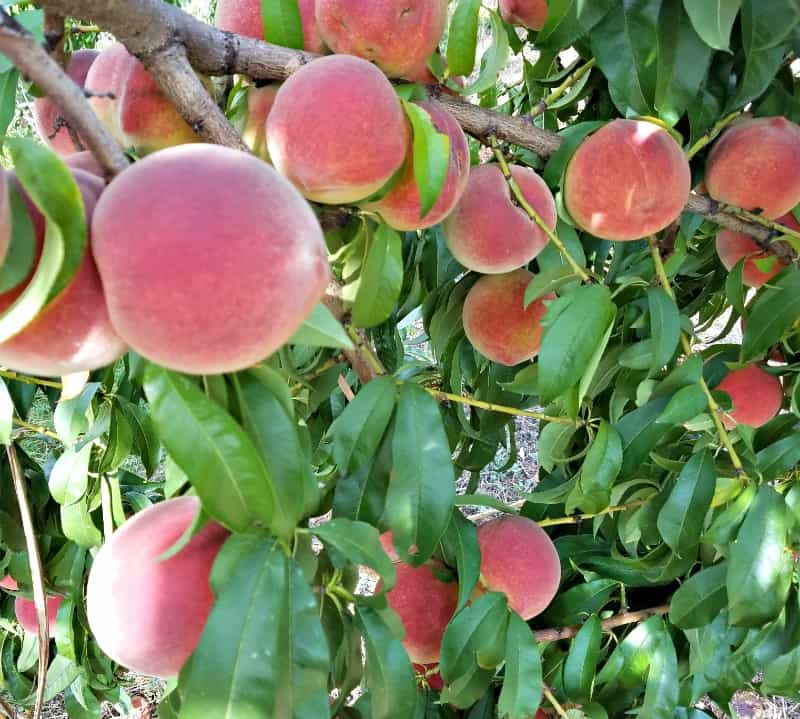 Peach tree with beautiful ripe peaches ready to be picked and preserved