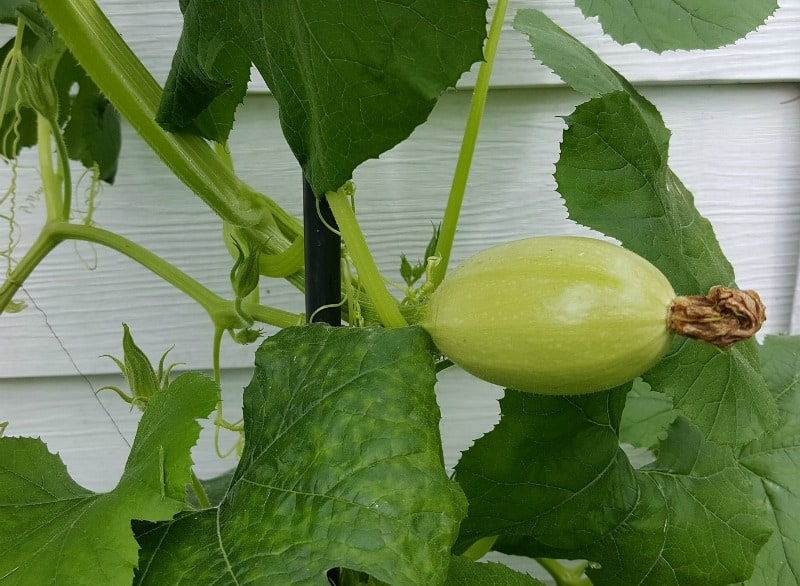 Spaghetti squash on vine