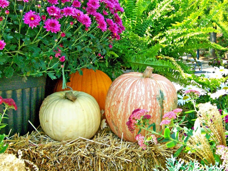autumn decor with mums and pumpkins