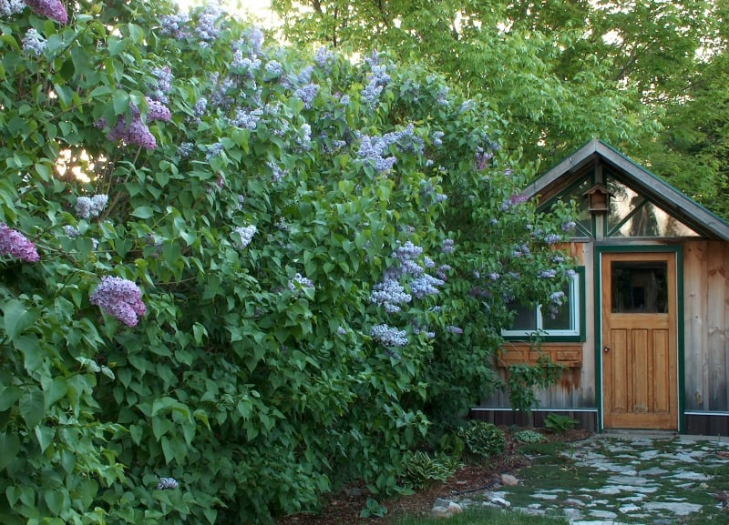 Beautiful blooming lilac by the shed