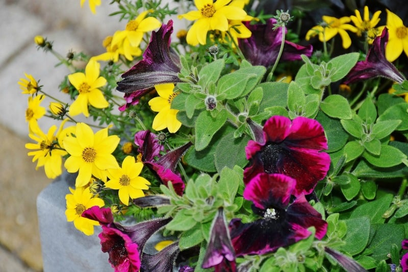 Cheerful combination of deep purple petunias and bright yellow flowers