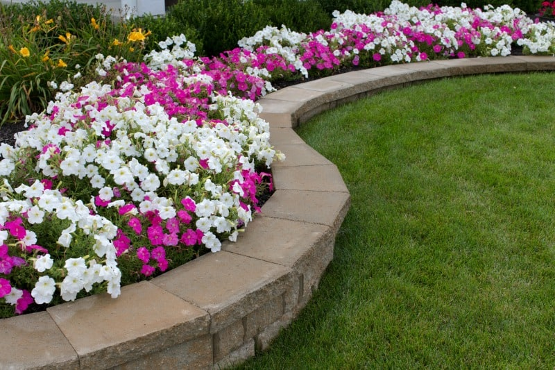 Pink and white petunias in a flower bed