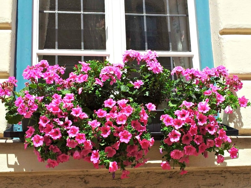 Happy pink petunias cheering up a window